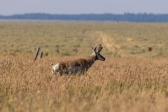 Самец оленя антилопы Pronghorn на прерии Стоковые Фотографии RF