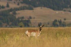 Самец оленя антилопы Pronghorn Стоковая Фотография