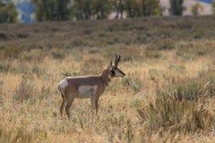 Самец оленя антилопы Pronghorn Стоковые Фото