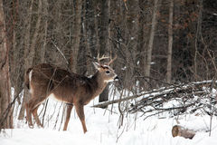 Самец оленя белого кабеля в зиме Стоковая Фотография RF