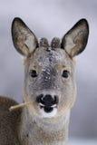 самец оленя есть камышовые козуль Стоковое Изображение