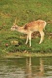 Самец оленя залежных оленей (dama Dama) Стоковое Изображение RF