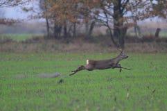 Самец оленя косуль бежится над полем Стоковые Фото