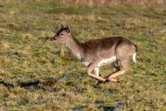 Самец оленя ланей - полет dama Dama полностью стоковые изображения