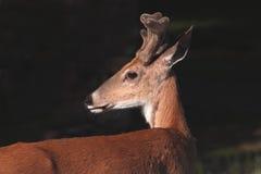 самец оленя налево смотря whitetail Стоковая Фотография RF
