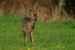 Самец оленя на луге, весна косуль Стоковые Изображения