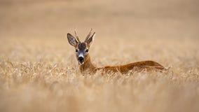 Самец оленя оленей косуль стоя вне в высоком поле зерна в жевать лета стоковые фотографии rf