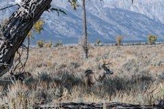 Самец оленя оленей осла идет перед Tetons стоковое фото rf