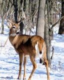 Самец оленя оленей Whitetail Стоковое фото RF