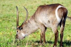 самец оленя пася Стоковое Изображение RF
