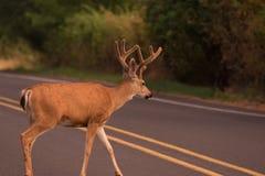 Самец оленя пересекая дорогу стоковое изображение