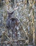 Самец оленя Whitetail в кукурузном поле стоковые фотографии rf