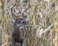 Самец оленя Whitetail идя через кукурузное поле стоковая фотография rf
