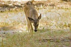Самец оленя Yosemite Стоковая Фотография RF