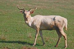 Самец оленя ланей Стоковое Изображение RF