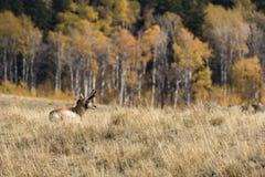 Самец оленя антилопы Pronghorn в падении Стоковое Изображение RF