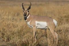 Самец оленя антилопы Pronghorn в поле Стоковая Фотография