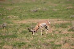 Самец оленя антилопы Pronghorn пася Стоковые Изображения RF