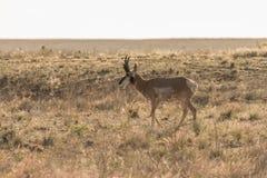 Самец оленя антилопы Pronghorn Стоковые Изображения