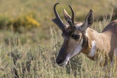 Самец оленя антилопы Pronghorn Стоковые Фотографии RF
