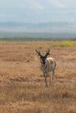 Самец оленя антилопы Pronghorn Стоковое Изображение RF