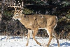 Самец оленя белого кабеля в зиме Стоковое Фото