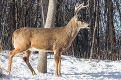 Самец оленя белого кабеля в зиме Стоковые Фото