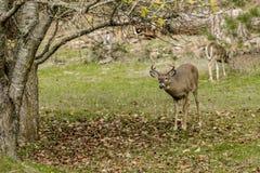 Самец оленя белого кабеля деревом Стоковые Изображения RF