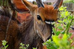 Самец оленя Буша Стоковое Фото