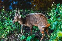 Самец оленя Буша Стоковая Фотография