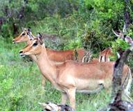 Самец оленя 2 блюстительно наблюдая что-то в расстоянии стоковые фотографии rf