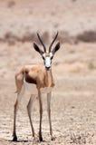 Самец оленя весны Стоковое фото RF