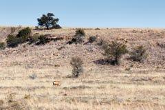 Самец оленя в поле - ландшафте Cradock Стоковое Изображение RF