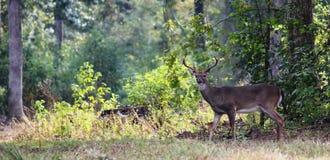 Самец оленя в древесинах Стоковое Фото