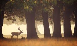 Самец оленя залежных оленей Стоковые Фотографии RF