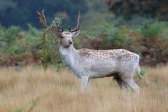 Самец оленя залежных оленей (dama Dama) Стоковые Фотографии RF