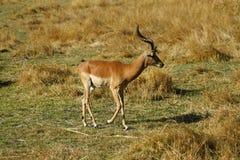 Самец оленя импалы на открытых равнинах Стоковая Фотография RF