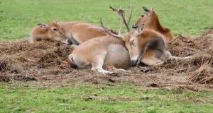 Самец оленя и лань отдыхая в травянистых постельных принадлежностях Стоковые Фото