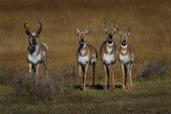 Самец оленя и некоторая лань Стоковые Фотографии RF