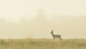Самец оленя косуль в тумане Стоковое Фото