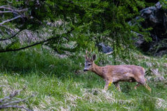 Самец оленя косуль Стоковая Фотография RF