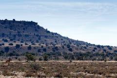 Самец оленя на горе - ландшафте Cradock Стоковые Фото