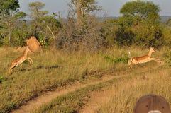 Самец оленя на заходе солнца Стоковые Фотографии RF