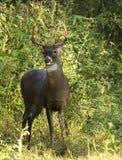 Самец оленя оленей белого кабеля Стоковые Фото