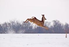 Самец оленя оленей косуль в воздухе Стоковые Изображения