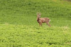 Самец оленя оленей косуль пася Стоковые Изображения