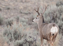 Самец оленя оленей осла во время колейности стоковое фото rf