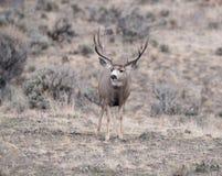Самец оленя оленей осла во время колейности стоковое фото