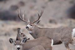 Самец оленя оленей осла во время колейности Стоковые Фото