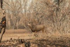 Самец оленя оленей осла идя в деревья Стоковое фото RF
